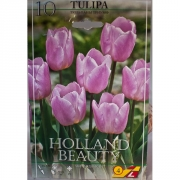 Тюльпан Холланд Бьюти(Holland Beauty)